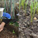 Cea mai rapidă cale de a cultiva pătrunjelul