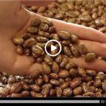 Ricinul ii aduce unui clujean 20.000 de euro la fiecare hectar