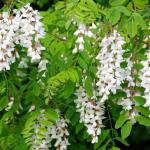 Depresia, durerile de cap, tusea și alte afecțiuni pe care le pot trata florile de salcâm!
