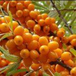 Cătina, elixirul imunității: conține peste 9 vitamine și de 10 ori mai multă vitamina C decât citricele