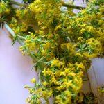 Beneficiile extractului fluid de sanziene galbene